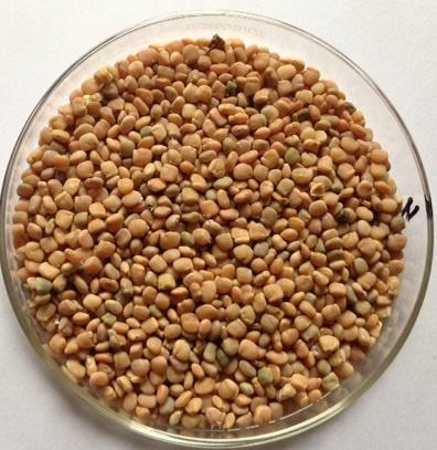 Guar Seed - 1