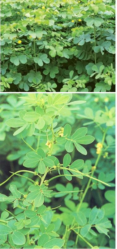 Identical Cassia Species