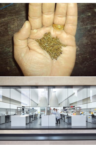 Raw Material Cassia Seeds through Careful Examination