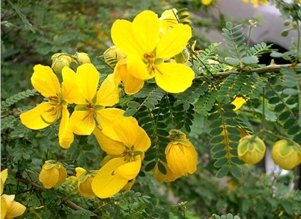 cassia plant 1