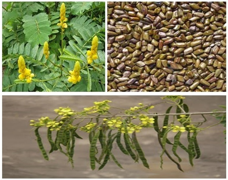 Cassia Tora Meal Preferred for Animal Feed Preparation