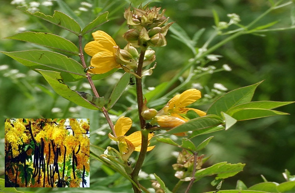 Historical Glance about Cassia Tora in Ayurvedic Systems
